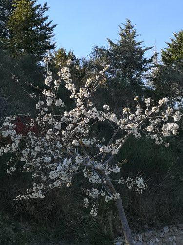 Fruit trees in bloom