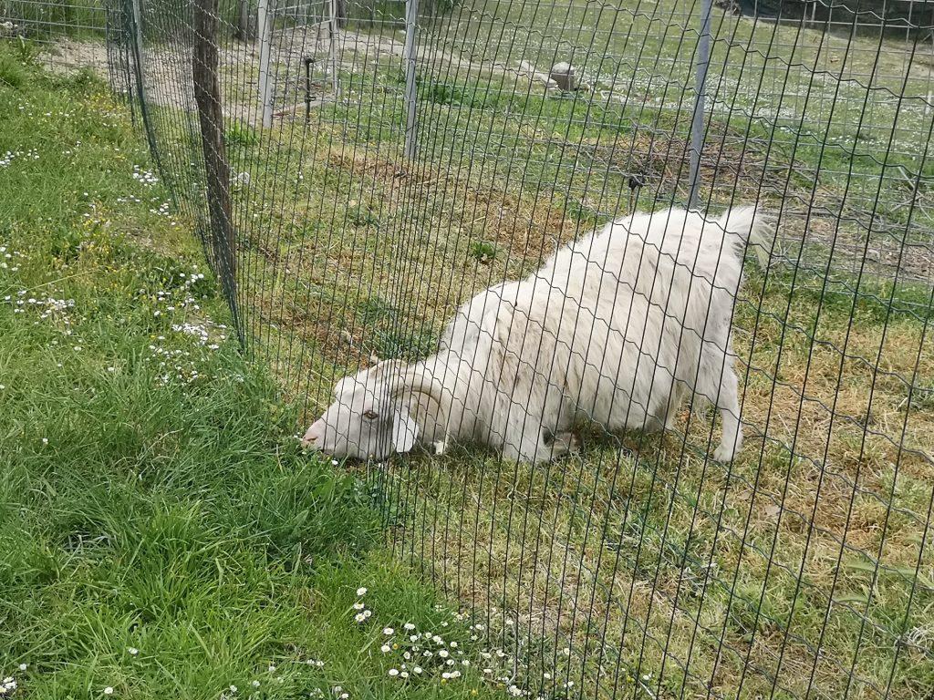 Goat exercise